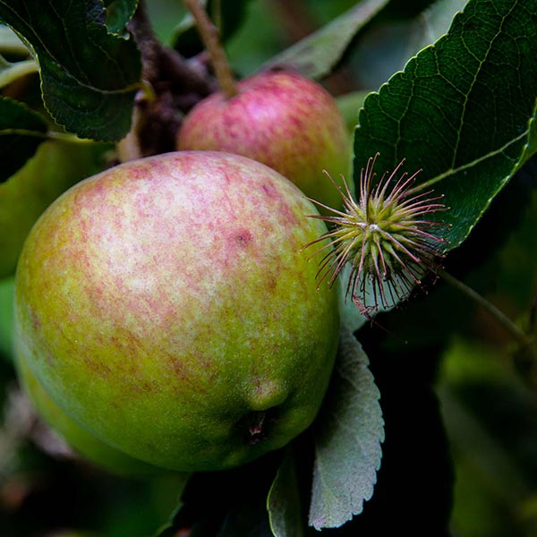 Rippening Apples with Wood Avens