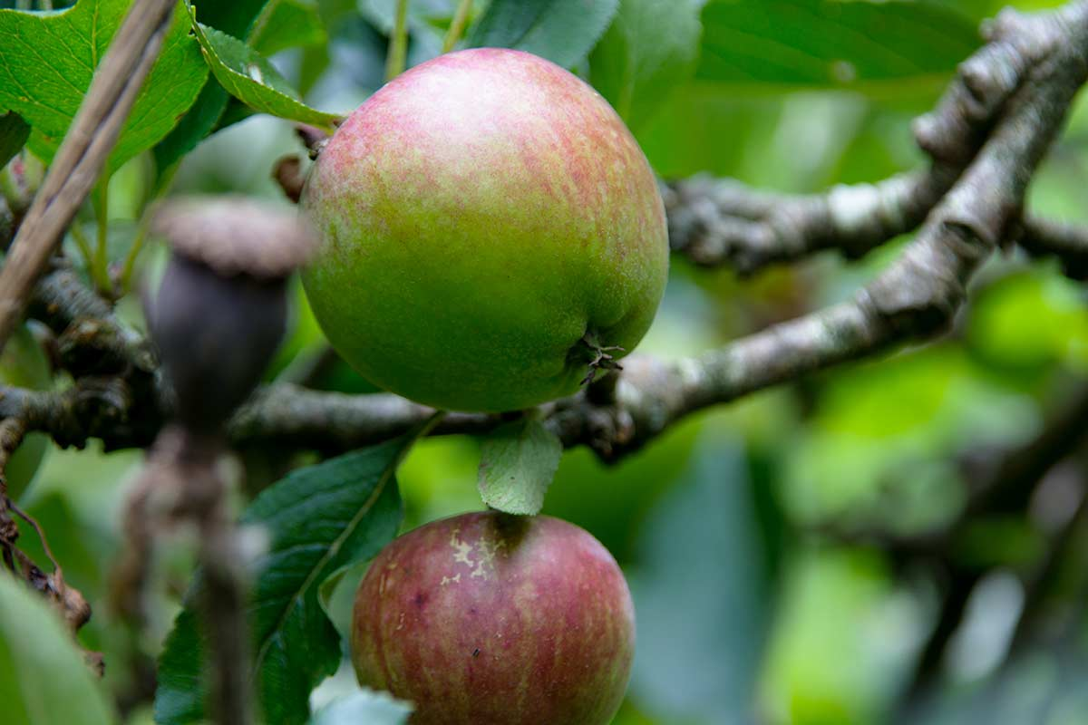 Apple tree fruiting in Magourney