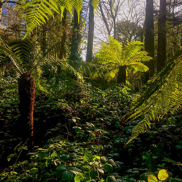 Tree Ferns in Blarney Castle Gardens, Cork