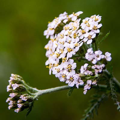 Yarrow in Magourney Garden