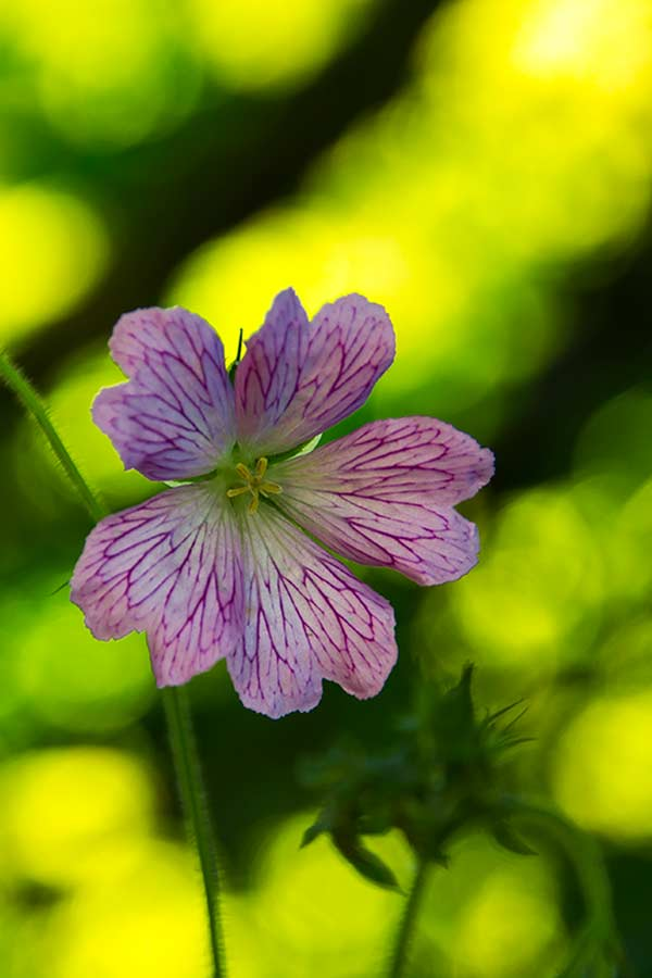 Pencilled Cranesbill on the banks of the River Bann