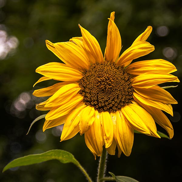 Sunflower in Magourney