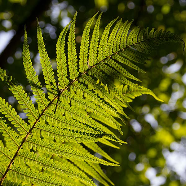 Fern on the banks of the River Bann