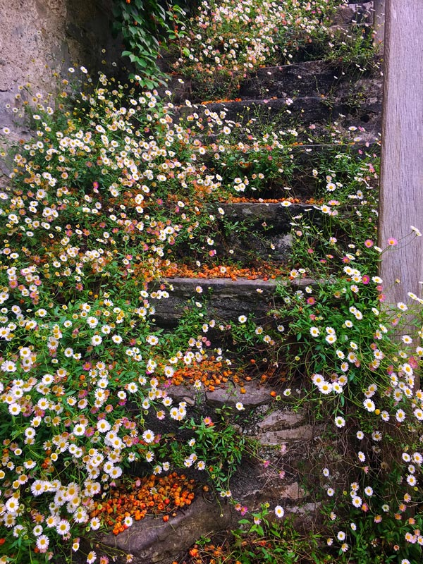 African Daisies on ancient stairs in Dartington Hall.