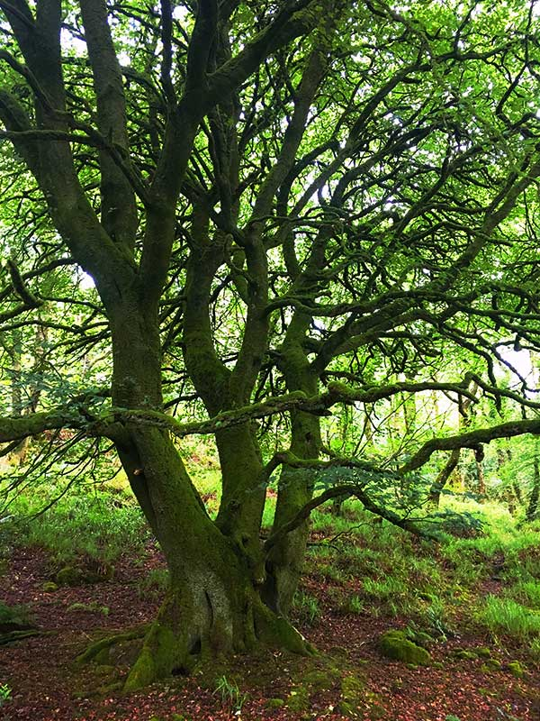 Dancing Beeches in Ballyvourney Woods