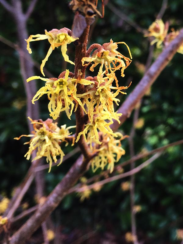 Witch Hazel flowers in Magourney