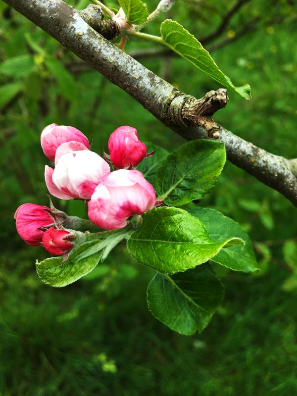 Apple tree blossoming in Magourney