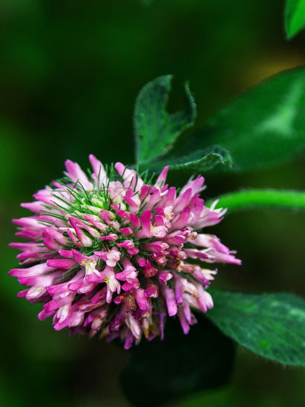Red clover flower in Magourney Gardens
