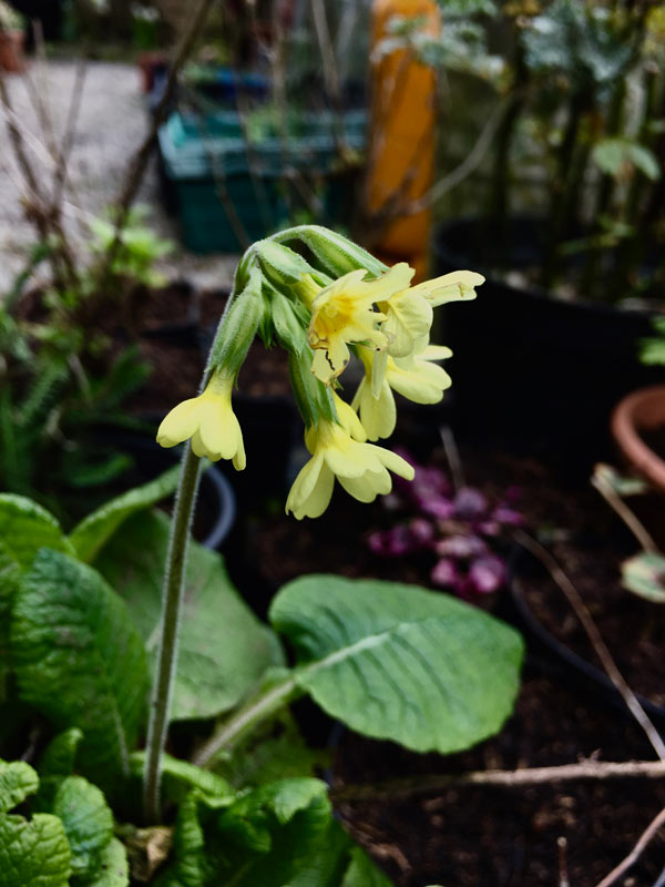Cowslip in bloom in Magourney Gardens