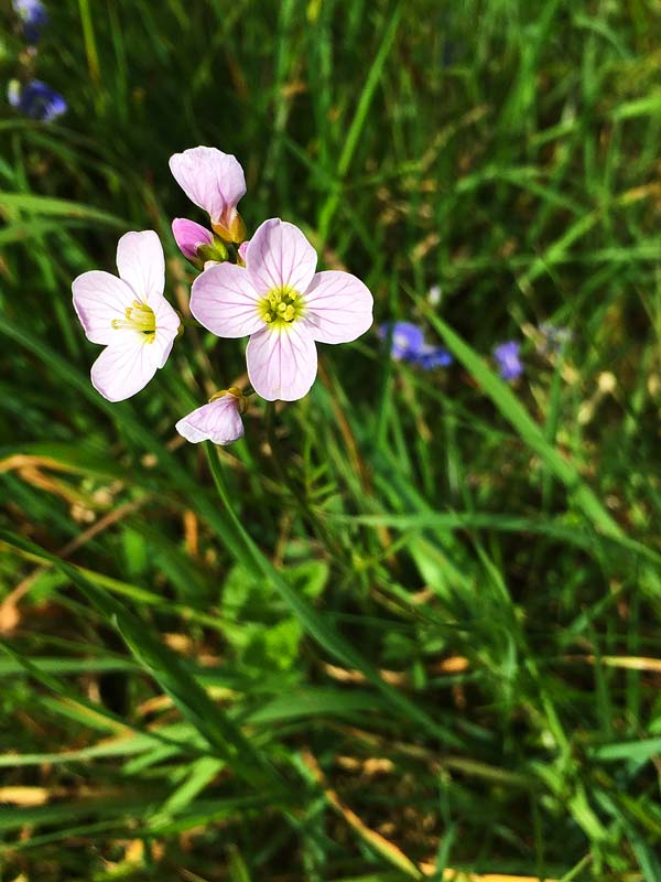 Cuckooflower or mayflower in the grass in Magourney