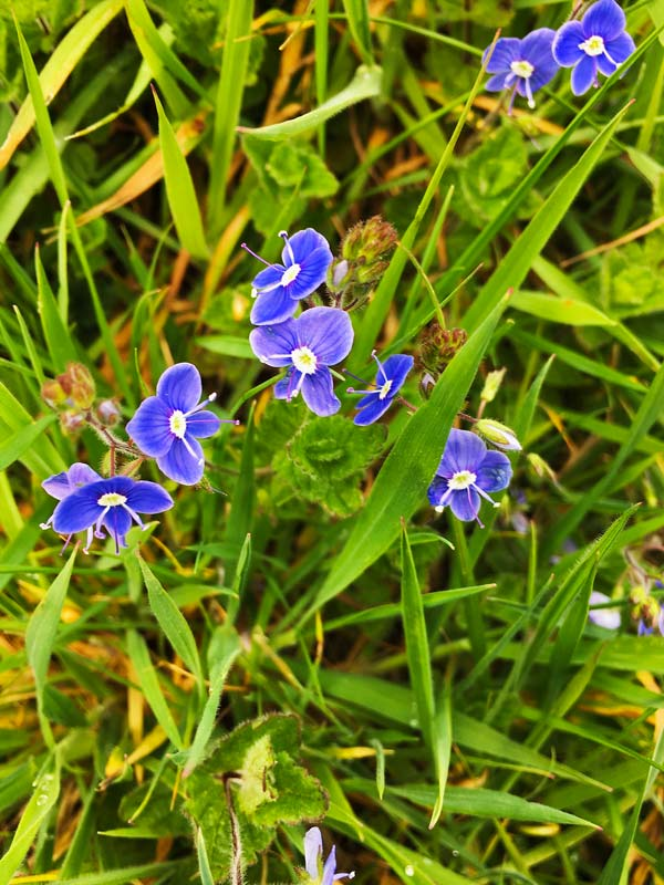Forget-me-nots in the grass in Magourney