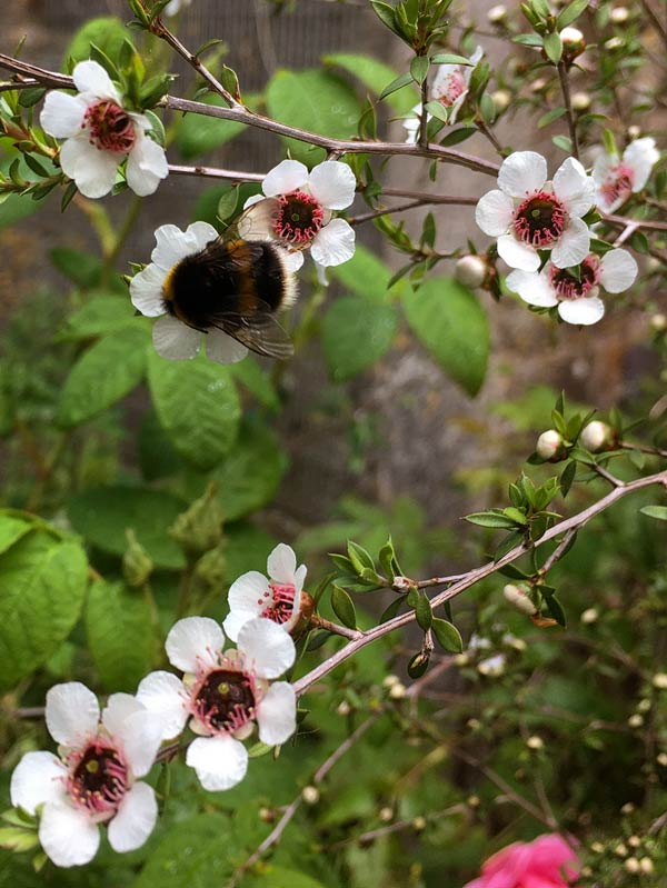 Bumble Bee on the pale Manuka in Magourney Gardens