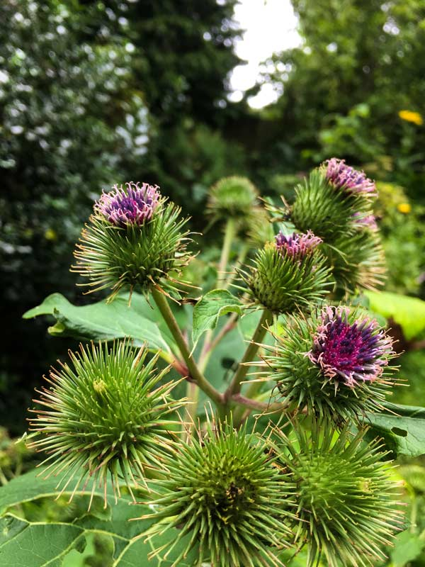Burdock flowering in Magourney