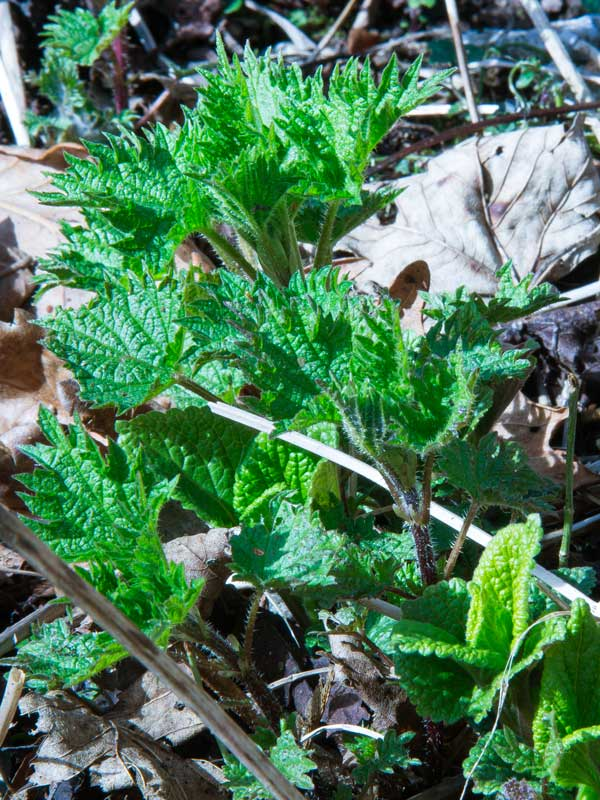 Young nettles shooting in Spring