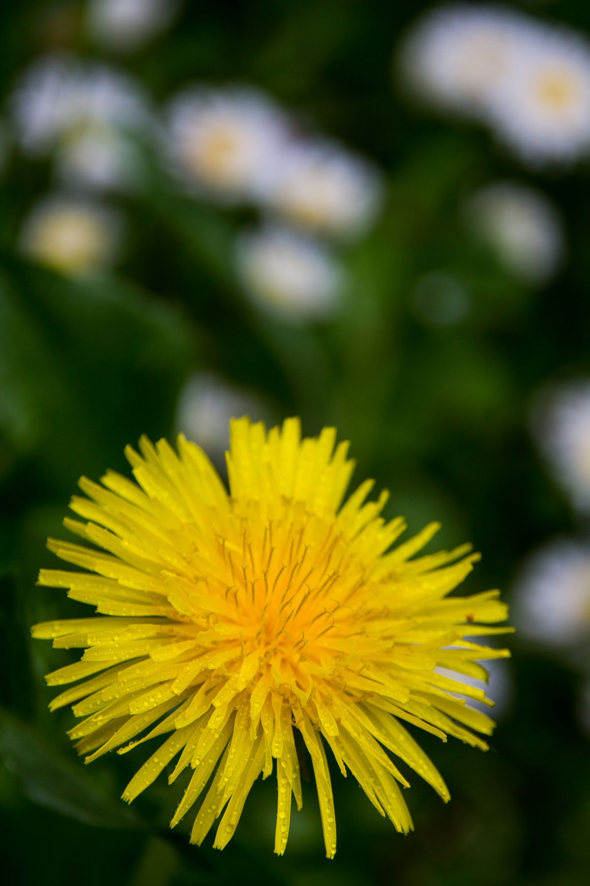 Dandelion with the morning dew