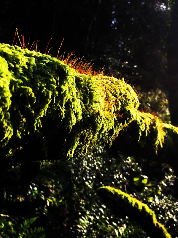 Flowing moss on the River Bann